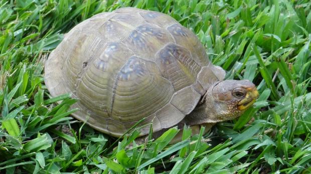 box turrtle