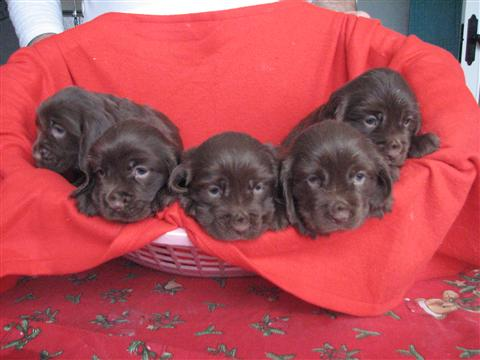 Sussex Spaniel Puppies Pet Orb