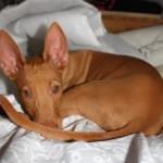 Pharaoh Hound Puppy