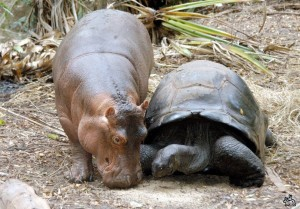 Turtle And Hippo