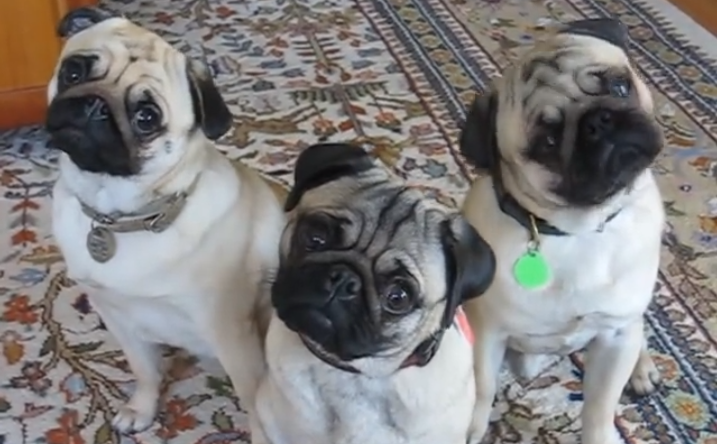 These pugs are so cute!