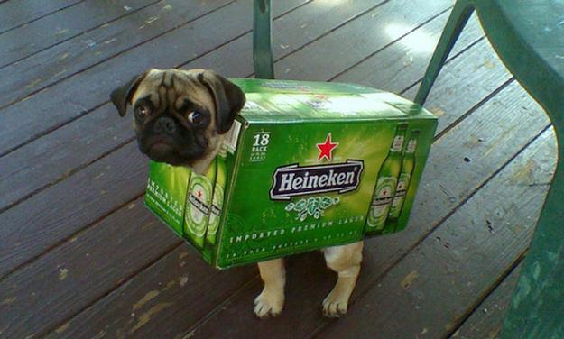 beer pug