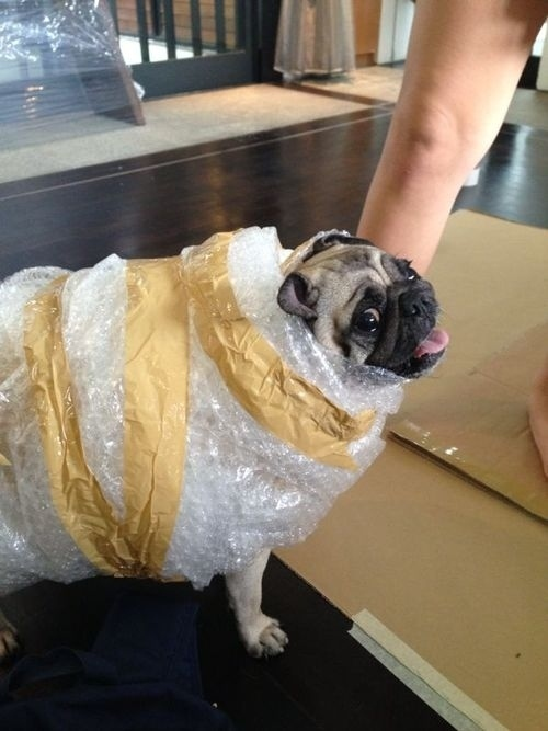 bubble wrap dog