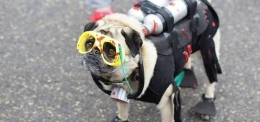 diver pug