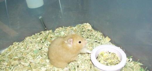 Can Hamsters Get Fleas