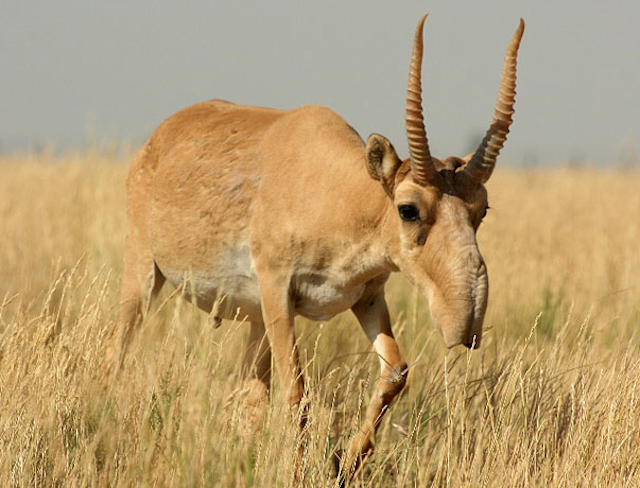 The Saiga Antelope