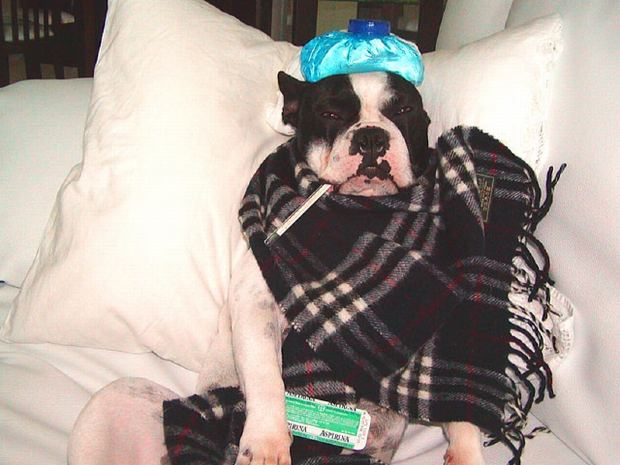 Can Dogs Catch The Flu