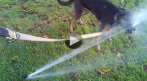 dog vs sprinkler