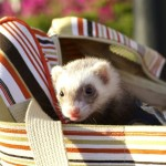 Can Cats Eat Ferret Food