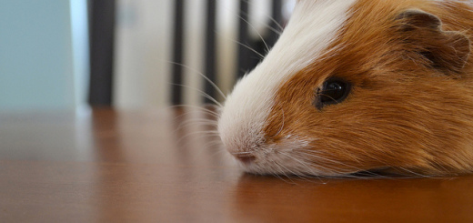 Do Guinea Pigs Sleep With Their Eyes Open