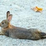 can rabbits swim