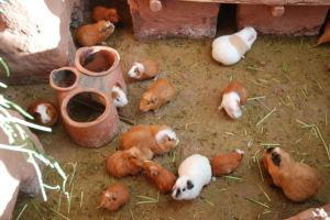 guinea pig hideout