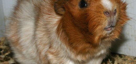guinea pig lice