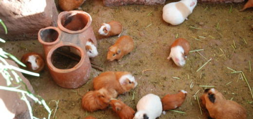 guinea pig quiz