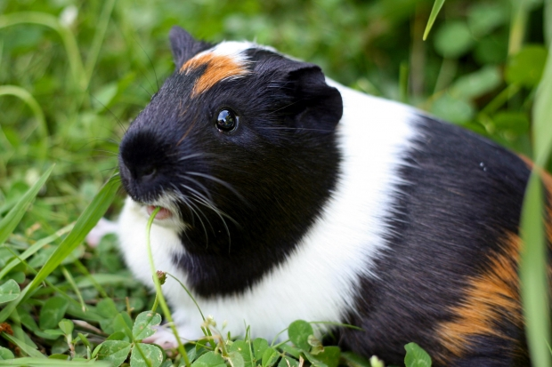 Where Do Guinea Pigs Come From? - Pet Orb