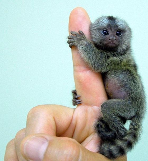 Pygmy Marmoset Lemur