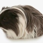The Silkie Guinea Pig
