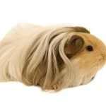 The Silkie Guinea Pig 2