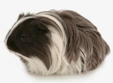Sheltie guinea pigs - photo#55