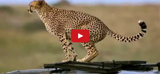 Cheetah Pet Orb