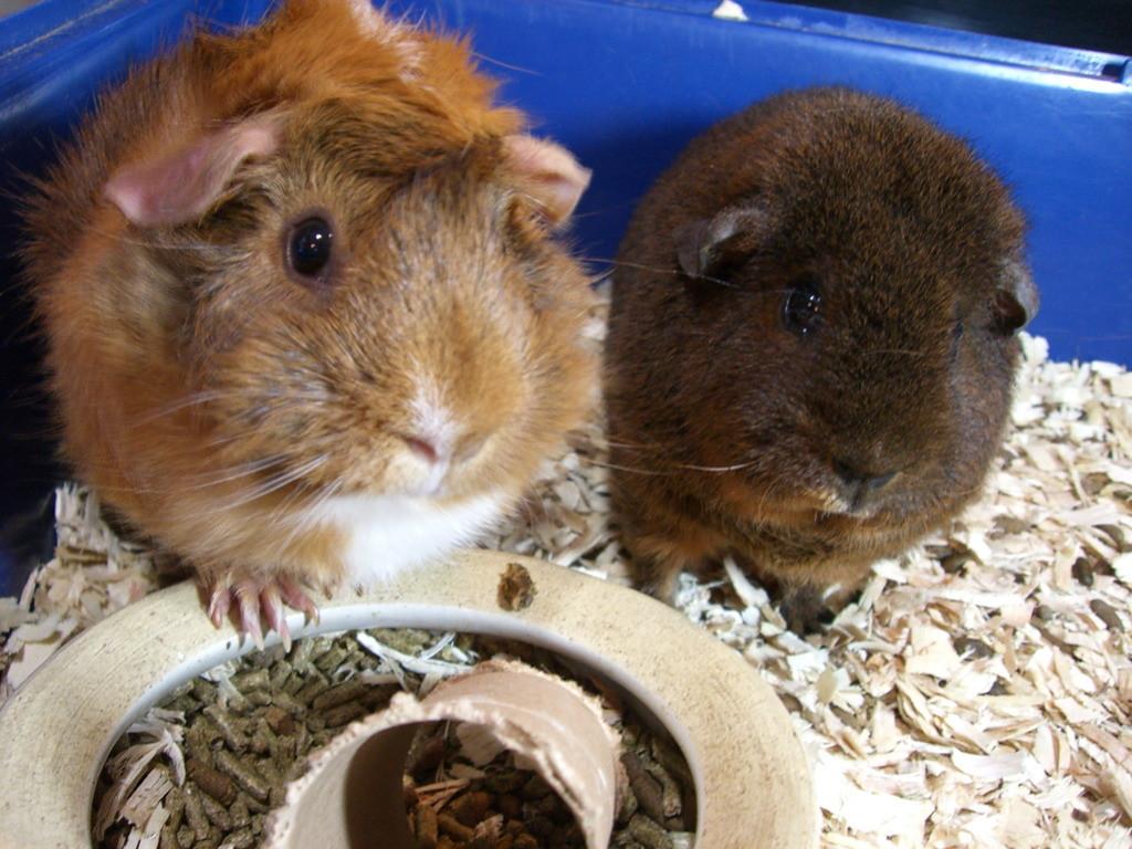Funny Guinea Pig Names - Pet Orb