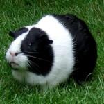 guinea pig names for boys