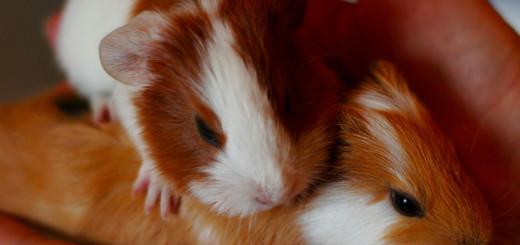 guinea pig snacks
