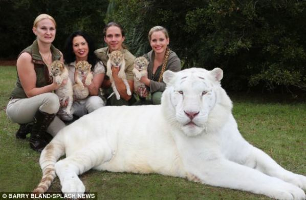 ligers with parent