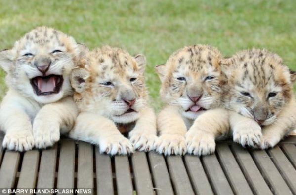 ligers