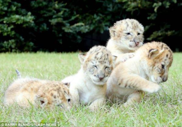 ligers2