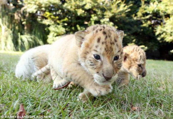 ligers5