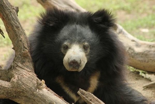 bear cub 4